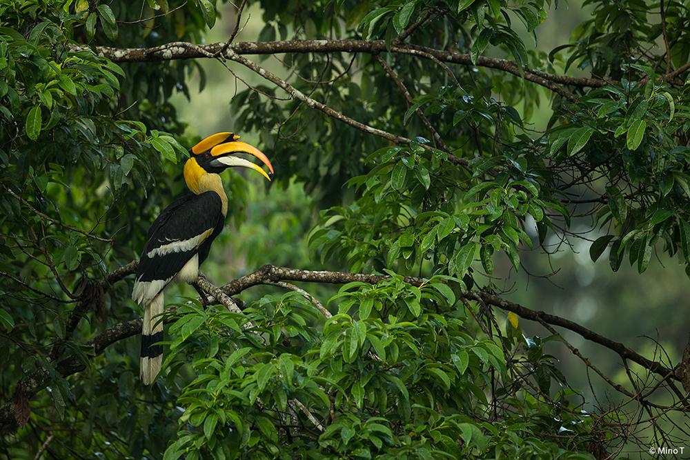 Great Hornbill in Habitat - Wildlife Photography by LLA Alumni Mino T