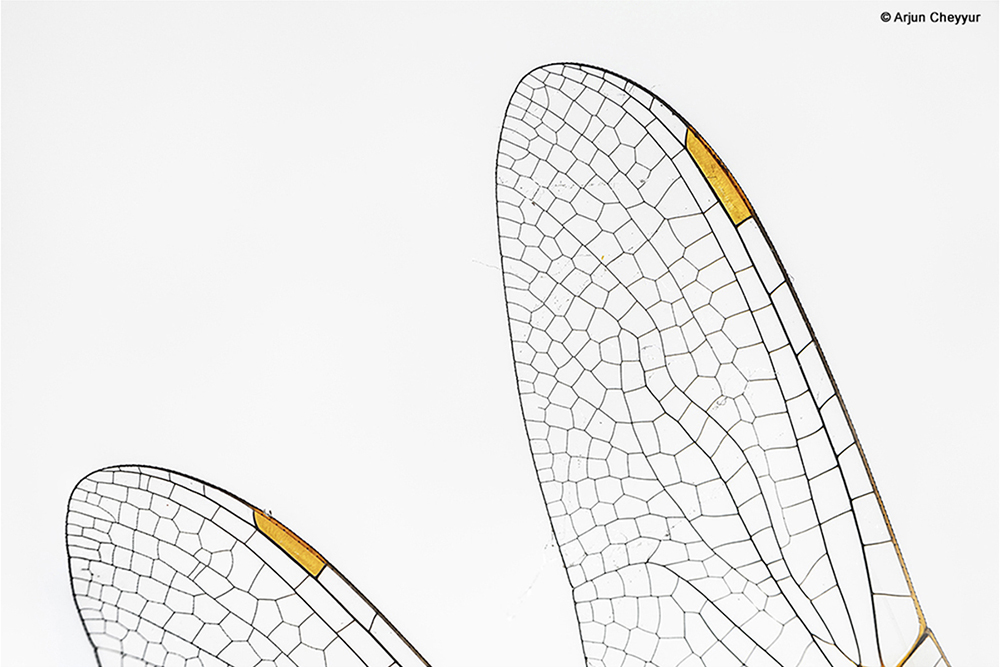 Close up picture of dragonfly wings - Fine Art Photography by LLA alumni Arjun Cheyyur