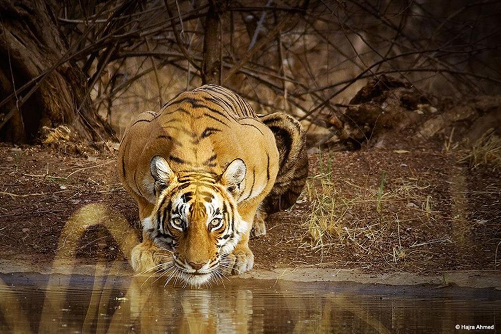Bengal Tiger by Watering Hole - Wildlife Photography by LLA alumni Hajra Ahmad